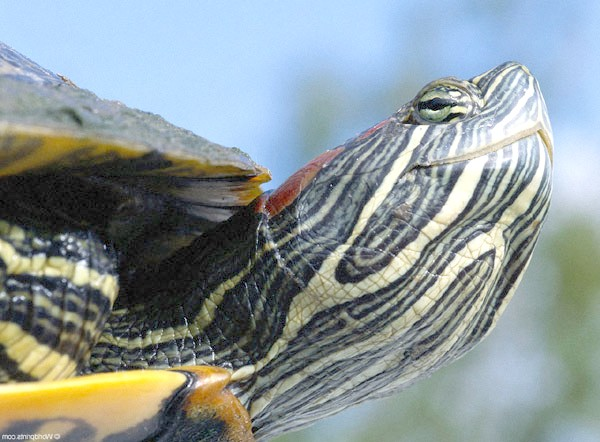 Червоновуха черепаха (Trachemys scripta scripta), фото рептилії фотографія картинка