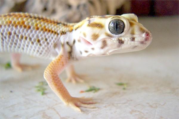 Сцинковий гекон (Teratoscincus scincus), фото ящірки фотографія