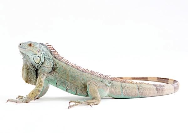 Зелена ігуана (Iguana iguana), фото рептилії фотографія