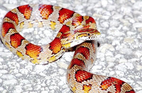 Маїсовий полоз (Elaphe guttata), фото рептилії фотографія змії