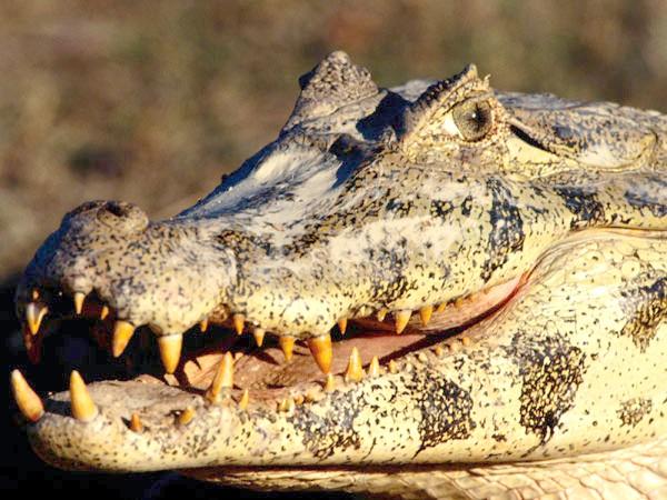 Чорний кайман (Melanosuchus niger), фото крокодили фотографія