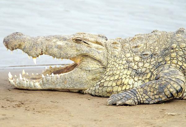 Нільський крокодил (Crocodylus niloticus), фото плазуни фотографія