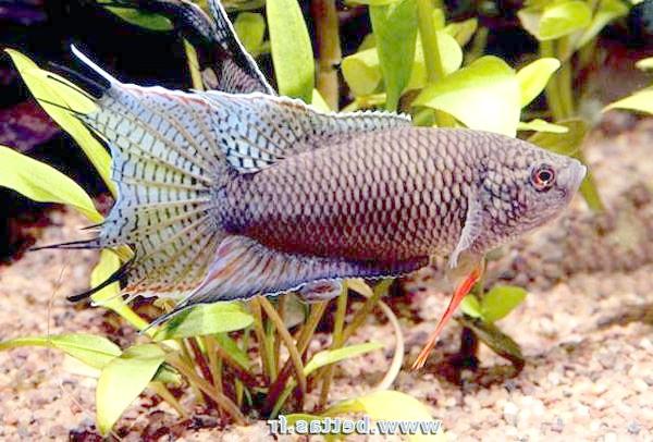 Чорний макропод (Macropodus concolor), фото фотографія лабірінтовие риби