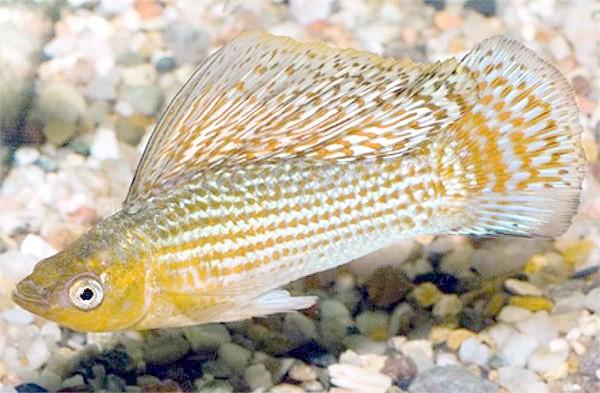Високоплавнічних, або флаговая пецілія (Poecilia velifera), фото живородні риби фотографія