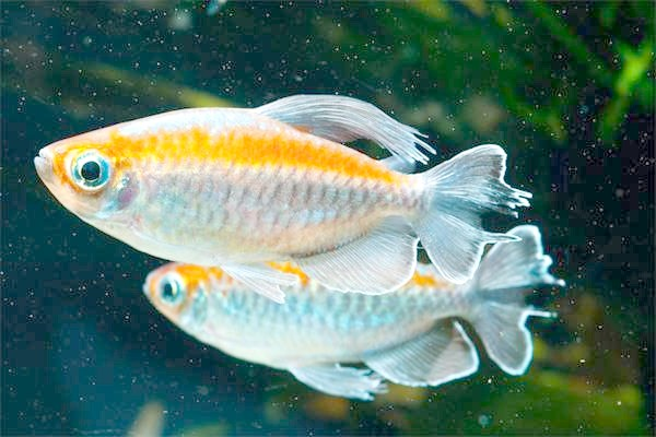 Тетра-конго (Phenacogrammus interruptus), фото риби