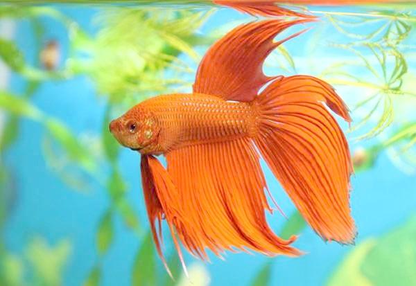 Бійцівська рибка, сіамський півник (Betta splendens), фото лабірінтовие риби фотографія
