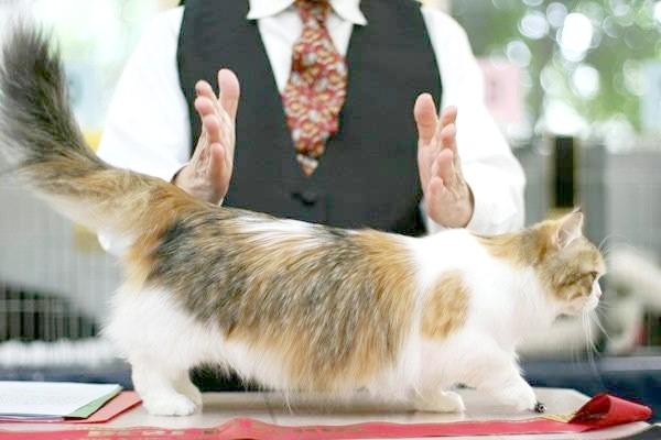 Наполеон карликова кішка, фото породи кішок фотографія картинка