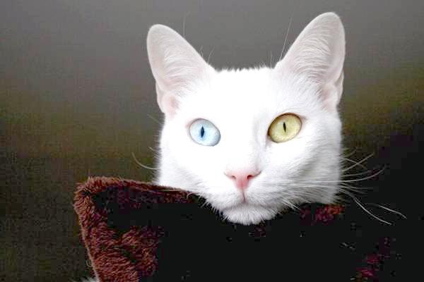 Кхао-мані, као-мані, фото породи кішок фотографія картинка