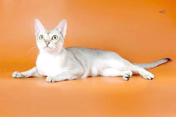 Сінгарупа, сінгапурська кішка, фото породи кішок фотографія