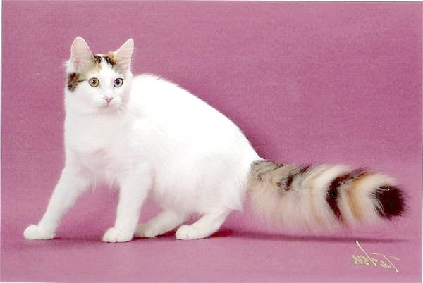 Турецький ван, турецька Ванська кішка, фото породи кішок картинка