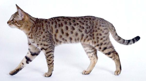 Каліфорнійська кішка, фото породи кішечок фотографія