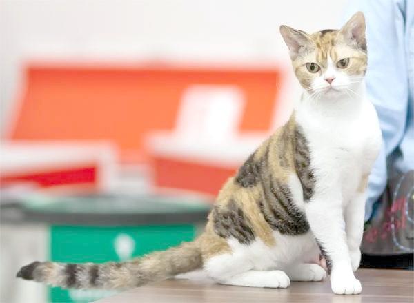 Американські жесткошерстная кішка, фото породи кішок картинка