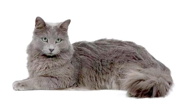 Нибелунг, фото породи кішок фотографія