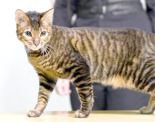 Тойгер, фото породи кішок фотографія картинка