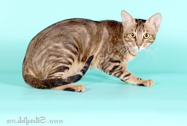 Сококе, Соукок, фото породи кішок фотографія картинка