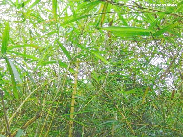 Бамбук звичайний (Bambusa vulgaris), фото фотографія картинка