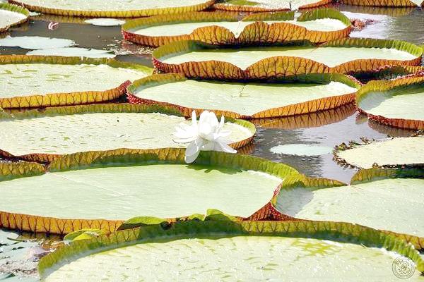 Амазонська вікторія (Victoria amazonica), фото фотографія картинка