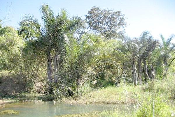 Рафія мадагаскарська (Raphia farinifera), фото пальми фотографія картинка