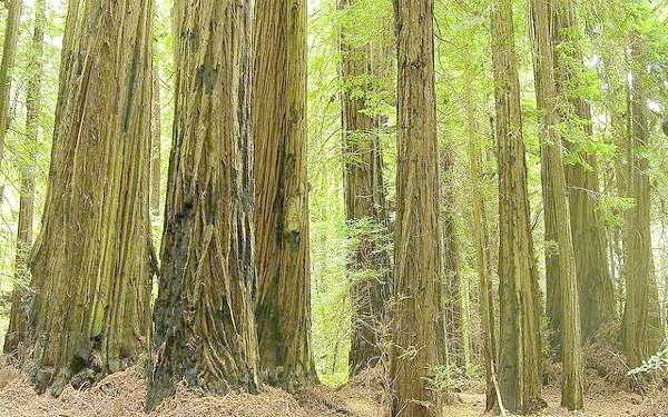 Вічнозелена секвоя (Sequoia sempervirens), фото фотографія картинка