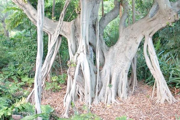 Бенгальська фікус (Ficus benghalensis), фото самі дерева фотографія картинка