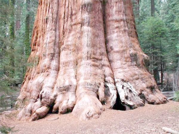 Секвоядендрон (Sequoiadendron giganteum), фото самі дерева фотографія