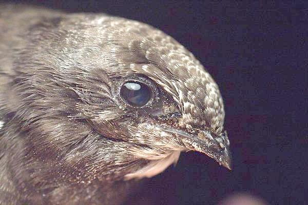 Чорний стриж (Apus apus), фото птиці зображення