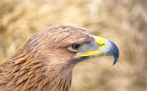 Беркут (Aquila chrysaetos), фото хижі птахи фотографія