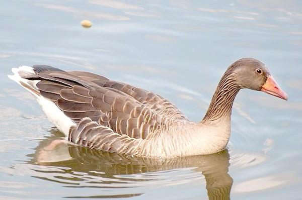 Сірі гуси (Anser anser), фото качині птиці фотографія