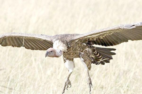 Африканський сип (Gyps rueppellii), фото падальники фотографія