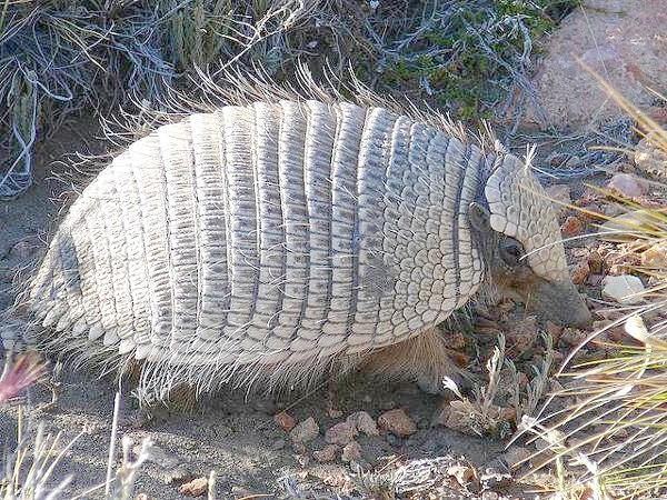 Карликовий броненосець, щетинистий броненосець (Zaedyus pichiy), фото Неповнозубі тварини фотографія