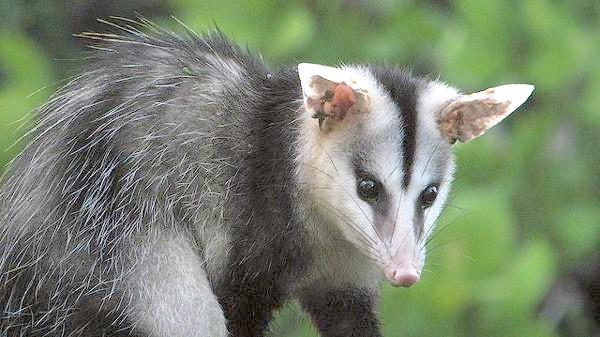 Звичайний опосум (Didelphis marsupialis), фото тварини фотографія