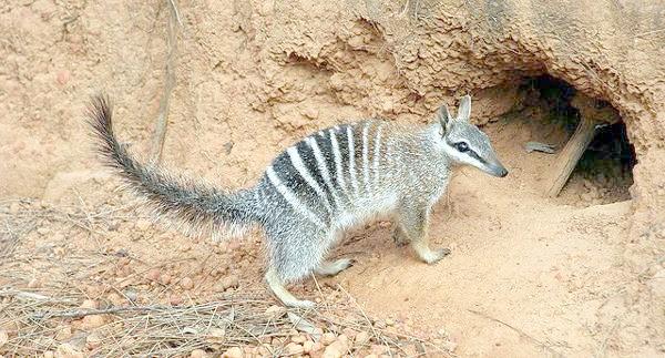 Намбат, намбат (Myrmecobius fasciatus), фото тварини фотографія