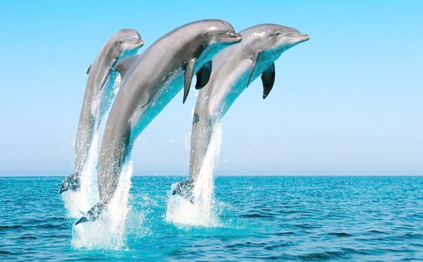 Звичайний дельфін, або дельфін білобочка (Delphinus delphis), фото кити фотографія