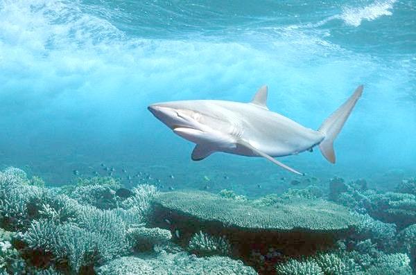 Сіра акула (Glyphis glyphis), фото риби фотографія