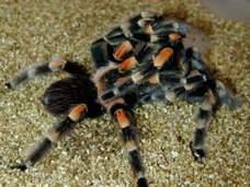 Сімейство: aviculariidae = павуки-птахоїди
