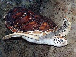 Сімейство: cheloniidae oppel, 1811 = морські черепахи