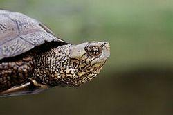 Сімейство: dermochelyidae fitzinger, 1843 = шкірясті черепахи
