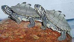 Сімейство: emydidae rafinesque, 1815 = американські прісноводні черепахи