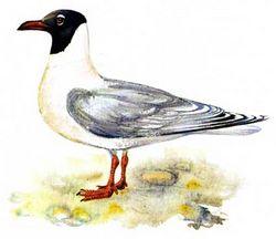 Сімейство: laridae rafinesque, 1815 = чайки, чайкових