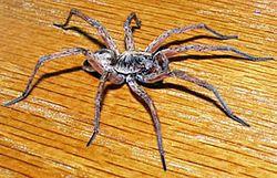 Сімейство: lycosidae = павуки-вовки