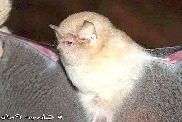 Бразильський воронкоух (Natalus stramineus), фото кажани фотографія картинка
