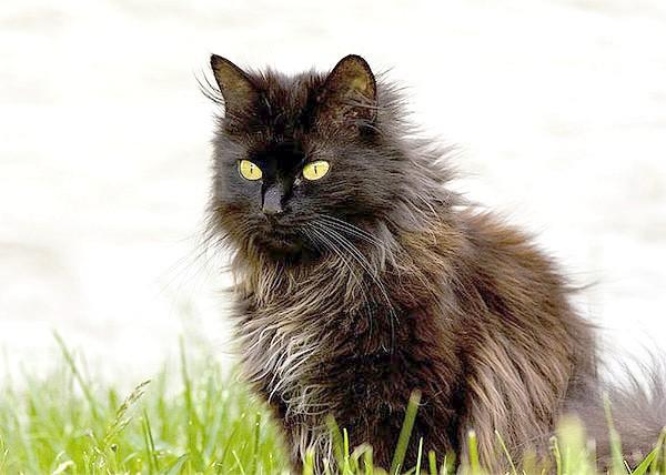 Шантильї-тиффани, фото породи кішок фотографія картинка