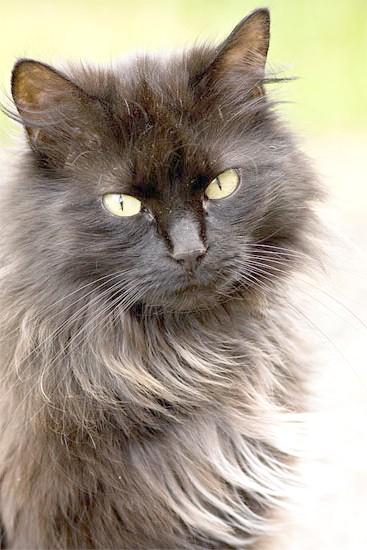 Шантильї-тиффани, фото породи кішок котів фотографія картинка