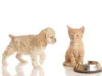 Щеня американського кокер-спанієля і рудий кошеня близько миски з кормом, прикольне фото смішна кар