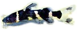 сіамська косатка, косатка сіамська (Leiocassis siamensis, Pseudomystus siamensis), фото, фотографія