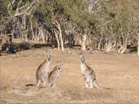 Руді кенгуру. Австралія, фото шпалери, фотографія картинка