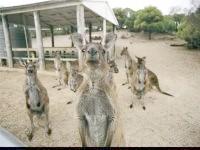 Кенгуру в зоопарку, фото шпалери, фотографія картинка