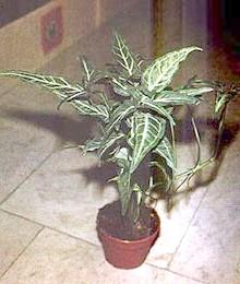 сингониум (Syngonium), фото, фотографія