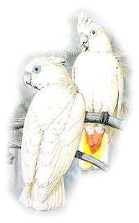 Соломонові какаду, какаду Соломонові (Cacatua ducorpsii)