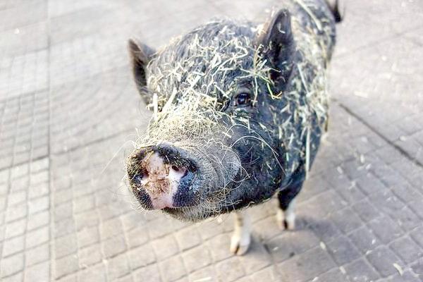 Карликова свинка, міні-піг, фото фотографія картинка